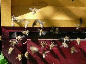 honey-bees-7447_640-300x225