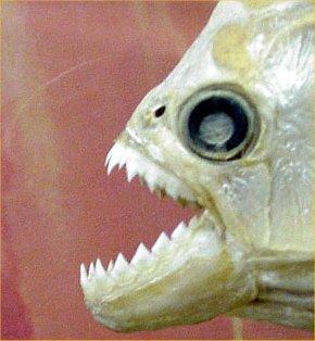 piranha-1271