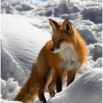 FoxSnow